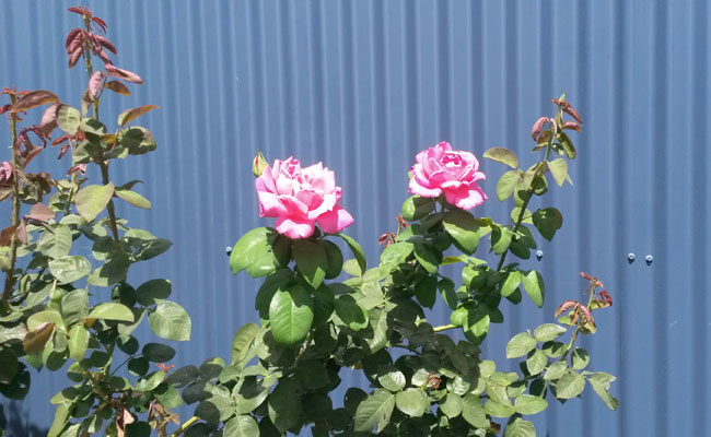 Emma's Cottage Vineyard Roses